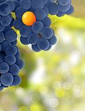 Yellow and purple grapes - stand out concept Stock Image