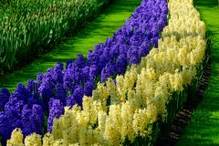 Yellow and purple hyacinth close up in Holland , spring time flowers in Keukenhof. Beauty royalty free stock images