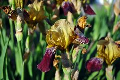 Yellow and purple iris flowers blooming, close up macro detail, blurry green leaves. Horizontal background royalty free stock photo