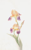 Yellow-purple iris flowers watercolor painting stock illustration