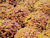 Yellow and purple mums Stock Image