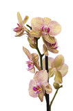 Yellow and purple orchid. Isolated against white Stock Photography