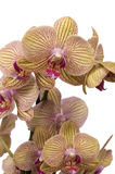 Yellow and purple orchid. Isolated against white Stock Image