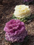 Yellow and purple ornamental cabbage Royalty Free Stock Photo