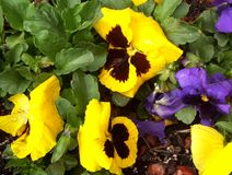 Yellow & Purple Pansies. Close up of yellow and purple pansies royalty free stock photos