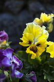 Yellow and purple pansies. Stock Image