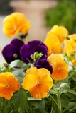 Yellow and purple pansies. In the garden close-up in the garden Stock Photo