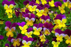 Yellow-purple pansy Stock Photography