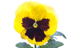 Yellow purple pansy Royalty Free Stock Images
