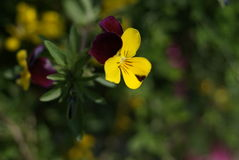 Yellow-Purple pansy Stock Image