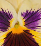 Yellow and purple pansy center Royalty Free Stock Images