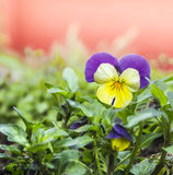 Yellow purple  pansy flower in garden Stock Photography