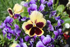 Yellow and purple pansy flowers in the garden royalty free stock photos