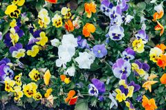 Many flowers, pansies, flowerbeds. Yellow and purple Pansy Flowers in the garden stock photo