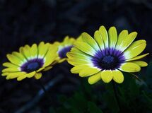 Yellow and Purple Petaled Flower Royalty Free Stock Images