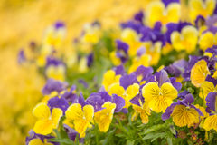 Yellow and Purple Petunias Stock Images