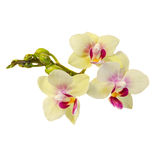 Yellow with purple pistils branch orchid  flowers,  Orchidaceae, Phalaenopsis known as the Moth Orchid. Royalty Free Stock Image