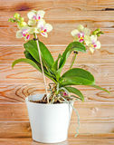 Yellow with purple pistils branch orchid  flowers,  Orchidaceae, Phalaenopsis known as the Moth Orchid. Stock Photo