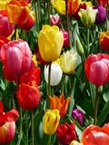 Yellow Purple and Red Tulip Flower during Day Time Royalty Free Stock Images