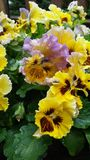 Yellow and purple ruffled pansies garden deck porch Stock Photo