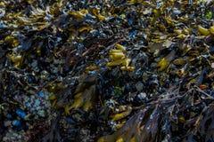 Yellow and Purple Seaweed stock photo