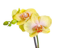 Yellow with purple spots branch orchid  flowers,  Orchidaceae, Phalaenopsis known as the Moth Orchid. Stock Photography
