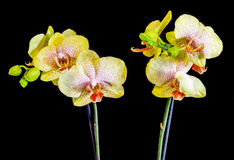 Yellow with purple spots branch orchid  flowers,  Orchidaceae, Phalaenopsis known as the Moth Orchid. Stock Image