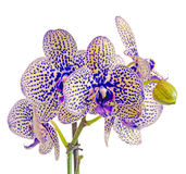 Yellow with purple spots branch orchid  flowers, Orchidaceae, Phalaenopsis known as the Moth Orchid Stock Photo
