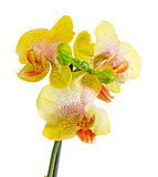 Yellow with purple spots branch orchid  flowers, Orchidaceae, Phalaenopsis known as the Moth Orchid Stock Images