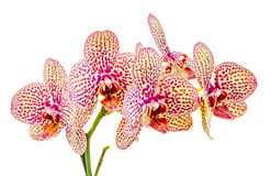 Yellow with purple spots branch orchid  flowers, Orchidaceae, Phalaenopsis known as the Moth Orchid Royalty Free Stock Photo