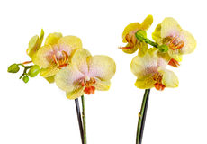 Yellow with purple spots branch orchid  flowers, Orchidaceae, Phalaenopsis known as the Moth Orchid Royalty Free Stock Photos