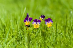 Yellow and purple spring pansies on green grass. stock photo