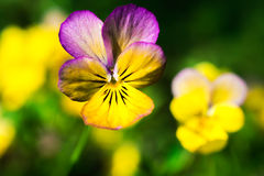 Yellow and purple tricolor viola flower. Pansy. macro. Stock Photo