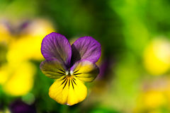 Yellow and purple tricolor viola flower. Pansy. macro Stock Image