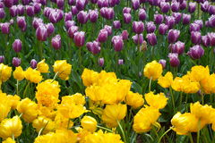 Yellow purple tulip flower. Field Stock Image