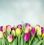 Bouquet of  yellow and purple  tulip flowers. Yellow and purple tulip flowers border on blue background with copy space Stock Images