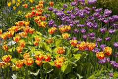 Yellow and purple tulips Royalty Free Stock Photos