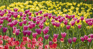 Yellow and purple tulips Royalty Free Stock Images