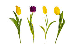 Yellow and purple  tulips in a row, isolated on white background Royalty Free Stock Image