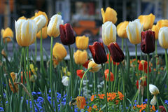 Yellow and purple tulips with water drops Royalty Free Stock Photo