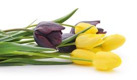 Yellow and purple tulips. Stock Photos