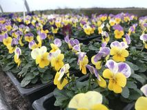 Yellow and purple violas. In full bloom in a garden centre Stock Image
