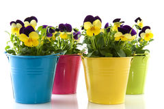 Yellow and purple violets Royalty Free Stock Photo