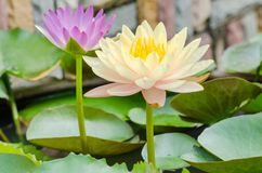 Yellow and purple water lily Royalty Free Stock Photography