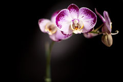 Yellow Purple and White Orchid Black Background Stock Photo
