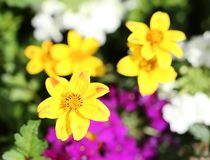 Yellow, purple and white summer blossoms.  royalty free stock image