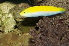 Yellow and Purple Wrasse in Aquarium Stock Image