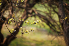 Yellow pussy willow  branches with buds blossoming Royalty Free Stock Photos