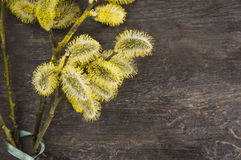 Yellow pussy willow with green bow Royalty Free Stock Photo