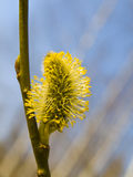 Yellow pussywillow Stock Image